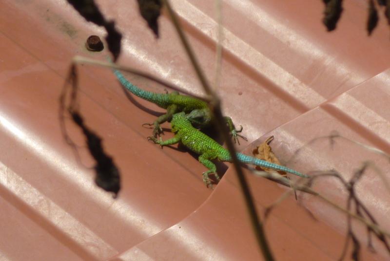 Mating Lizards